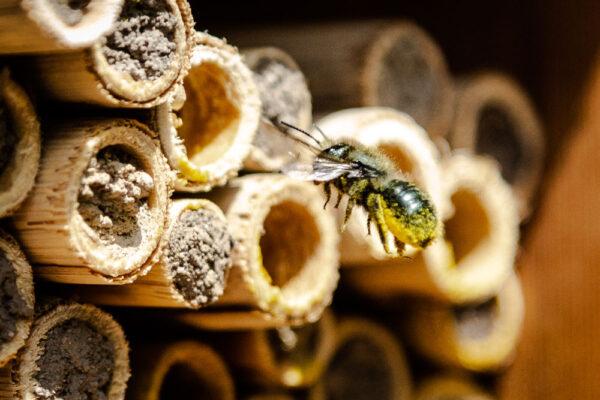 Mason bee gathering pollen